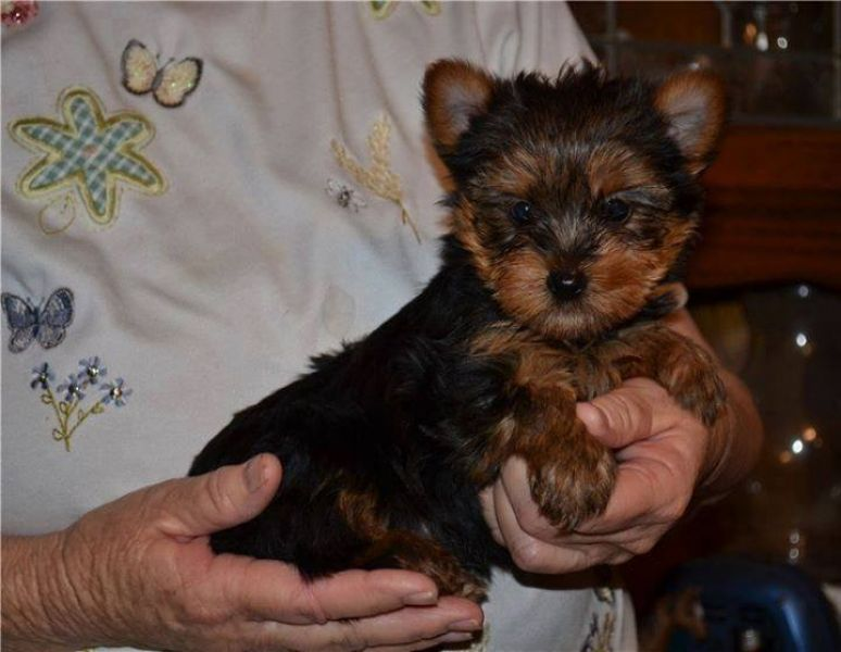 😋 Gorgeous Little yorkie puppies shots, dewormed & potty
