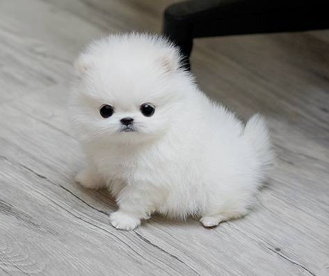 White Tiny Teacup Pomeranian 12 weeks old,