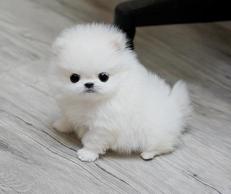 White Tiny Teacup Pomeranian 12 Weeks Old