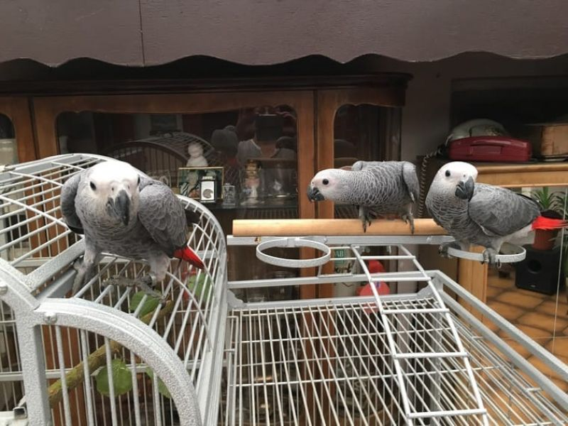 A Pair of Talking African Grey Parrots.
