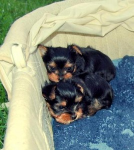 Yorkshire Puppies Available