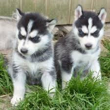Pure Mixed Breed Siberian Husky Puppies.