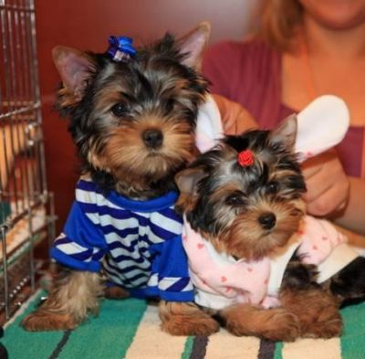 Female  And Male Yorkshire Terrier Puppies for free adoption