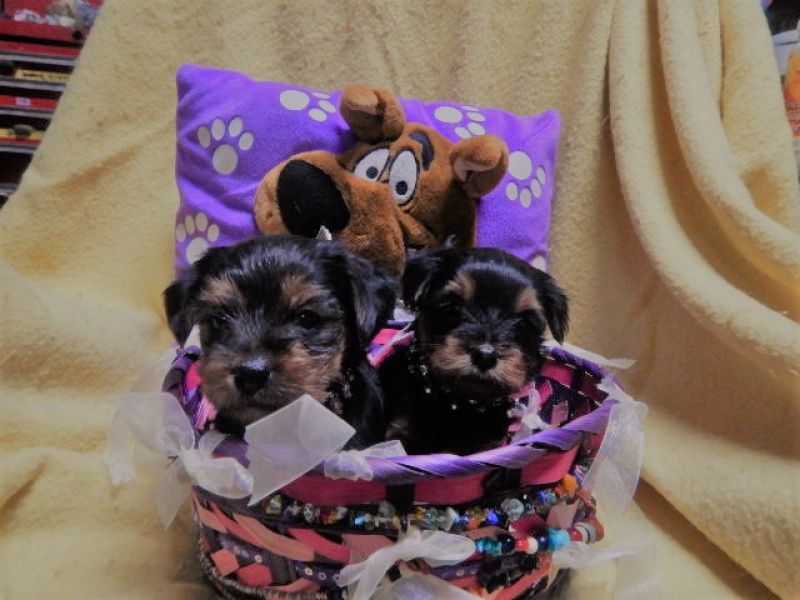 Male and Female Yorkie's Puppies For Sale