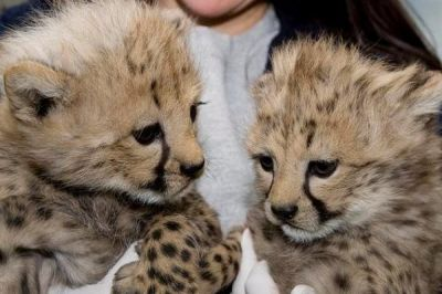 Well Tamed Cheetah cubs,Tiger Cubs and Fennec Fox For Sale