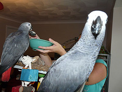 African Gray Parrots For Adoption