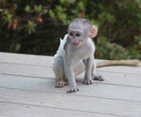 Capuchin,marmoset,squirrel and spider monkeys available