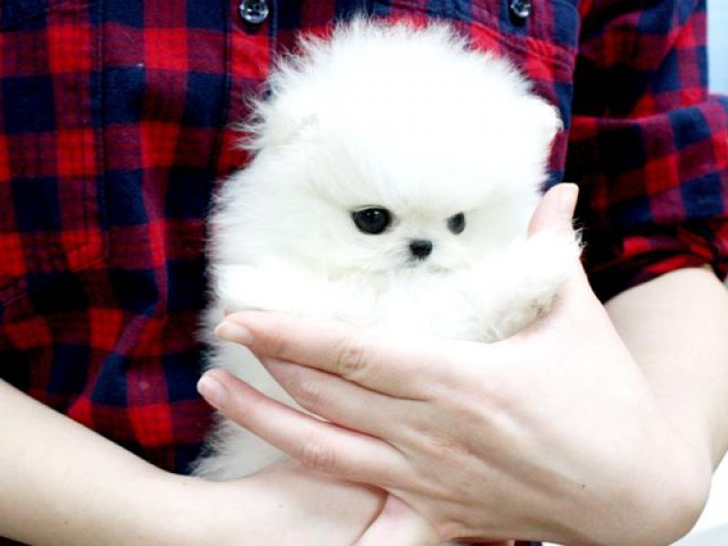 Pomeranian toy puppies are ready