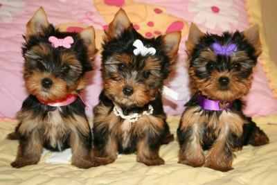 Healthy Adorable TeaCup Yorkie Puppies