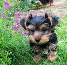 Yorkshire terrier puppy for a caring family