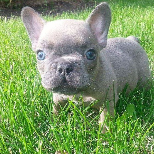 Adorable French Bulldog Puppies For Adoption.