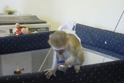 Sweet baby capuchin monkeys for adoption