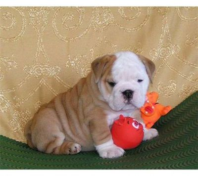 HEALTHY FEMALE FAWN & white Bulldog Puppy For Sale