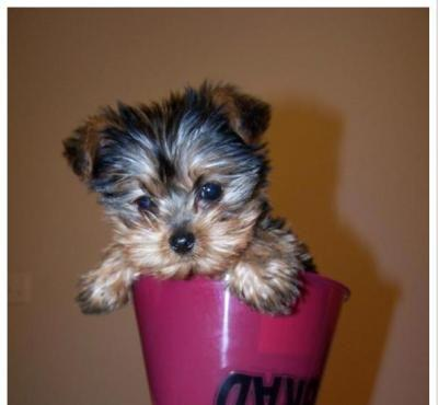 Outstanding Tea Cup Yorkie Puppy.