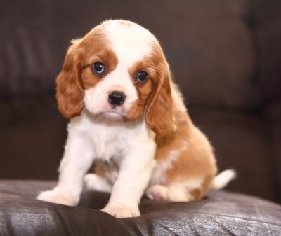 Adorable And Lovely  King Charles Spaniel Puppies For Adoption