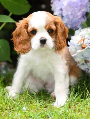 Adorable And Lovely Cavalier King Charles Spaniel Puppies For Adoption