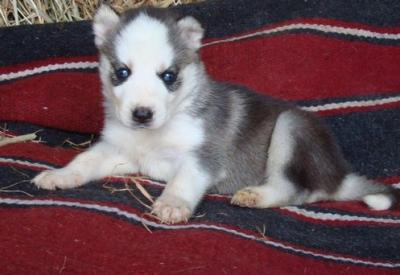 Siberian husky puppy in of a home 9 weeks old