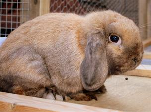 Sooty Fawn Mini Lop Buck For Stud