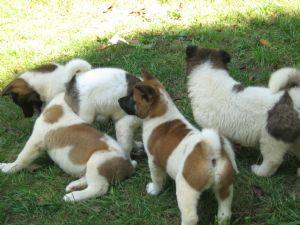 CH BLOODLINE AKITA PUPS