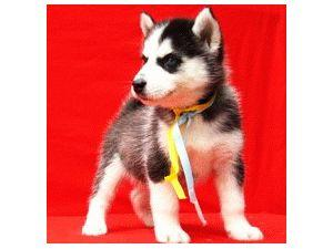 gorgeous SIBERIAN HUSKY pups available
