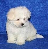 MALTESE PUPPUES FOR SALE