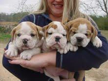Cute and Adorable English Bulldog Puppies For Adoption.