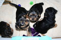 Gorgeous Elegance Teacup Yorkies Puppies For Free Adoption