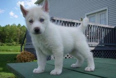 Adorable Siberian husky female puppy looking for a home