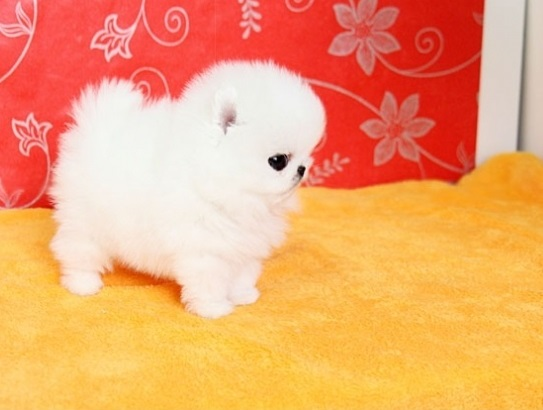 Socialized Pomeranian Puppies for sale