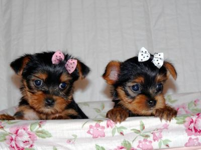 We have Yorkie puppies for sale starting at $498 and up! Puppy City