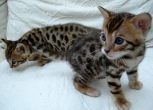 Ocelot Kitten Caracals And Margay Kittens For Sale