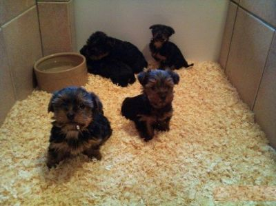 Extremely cute Teacup Yorkie puppies