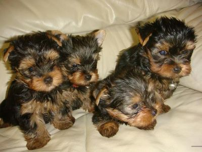 super cute teacup yorkie puppies for adoption.