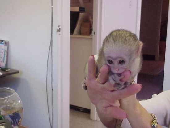 Adorable baby capuchin, squirrel and marmoset monkeys ready for good homes.