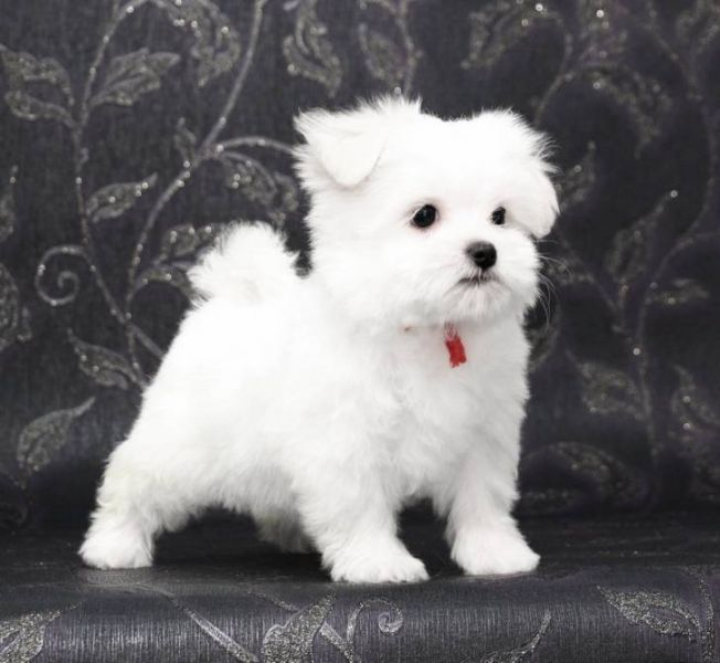 Supper Tiny Teacup Maltese Puppies For Sale