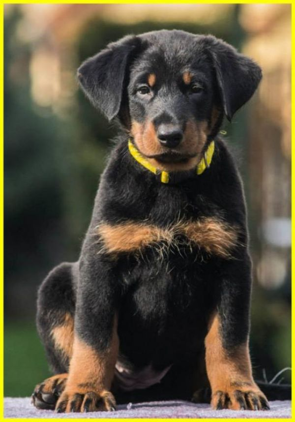 Beauceron (Berger de Beauce) – FCI registred