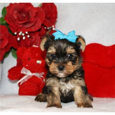 2 YORKIE PUPPIES FOR FREE