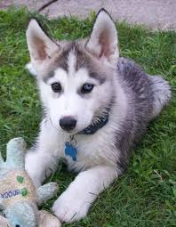 Blue Eyes Siberian Husky Puppies  on  Adoption.