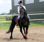 Good male frisian horse for sale
