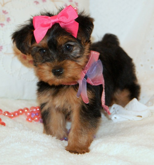 Adorable yorkie puppies for sale.