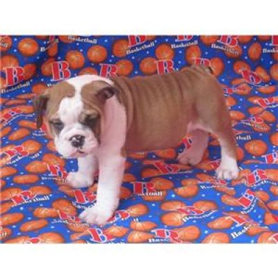 cute english bulldogs puppies for sale