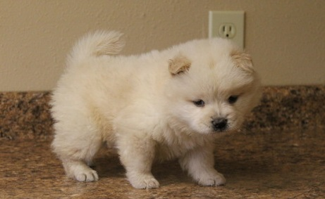 Chow chow puppies for sale now