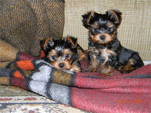 Awersome yorkie puppies for adoption