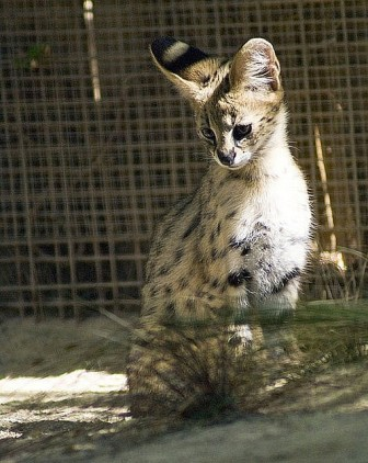 Servals and F1 Savannah kittens for new homes .