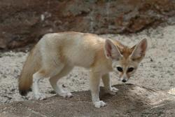 TICA Registered Fennec fox for sale