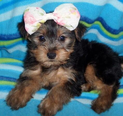 Scruffy - Yorkshire Terrier Puppy for Sale