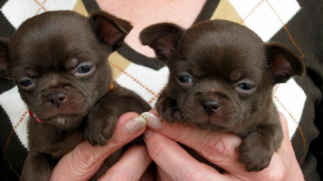 mini toy chihauhua puppies for adoption