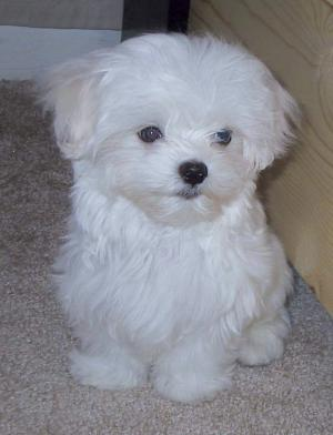 very lovable male and female maltese for adoption