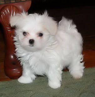 Teacup white Maltese puppies for sale
