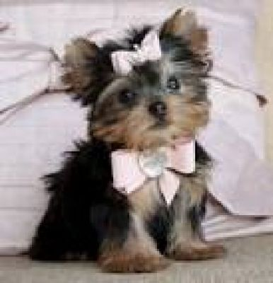 Adorable  Yorkshire Terrier Puppies...